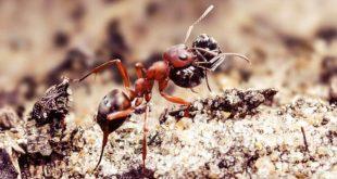 Как муравьи превращают другие виды в своих рабов?